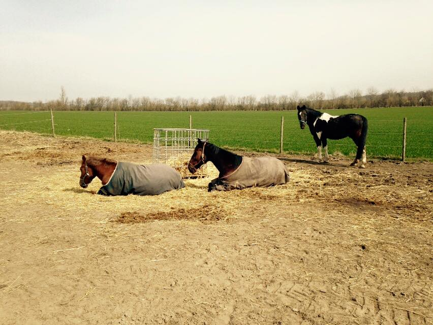 Hestene nyder solen